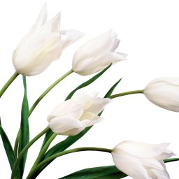white-tulips-flowers-wallpapers